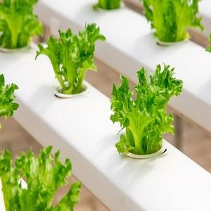 Comment couper une salade pour qu elle repousse ?